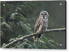 Barred Owl  Acrylic Print by Daniel Behm