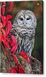 Barred Owl II Acrylic Print by Todd Bielby