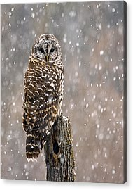 Barred Owl In A New England Snow Storm Acrylic Print