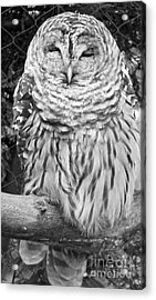 Barred Owl In Black And White Acrylic Print by John Telfer