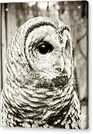 Barred Owl Acrylic Print by Olivia StClaire