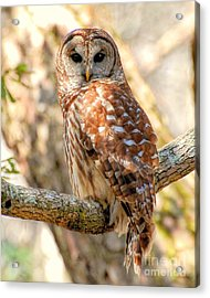 Acrylic Print featuring the photograph Barred Owl by Kathy Baccari