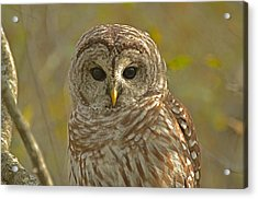 Barred Owl Looking At You Acrylic Print