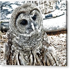 Acrylic Print featuring the photograph Barred Owl Photo Art by Constantine Gregory