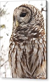 Barred Owl Acrylic Print by Tammy Schneider