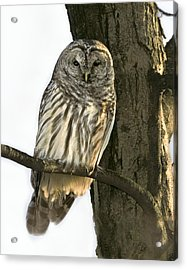 Barred Owl  Acrylic Print by Timothy McIntyre