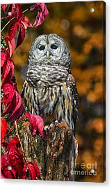 Barred Owl Acrylic Print by Todd Bielby