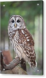 Acrylic Print featuring the photograph Barred Owl by Tyson and Kathy Smith