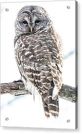 Barred Owl2 Acrylic Print