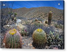 Barrel Cacti In Bloom Acrylic Print