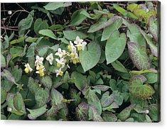 Barrenwort (epimedium X Versicolor) Acrylic Print by Sally Mccrae Kuyper/science Photo Library
