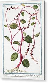 Basella Rubra Acrylic Print by Rare Book Division/new York Public Library
