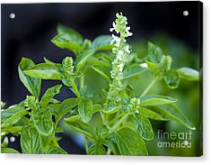Basil With White Flowers Ready For Culinary Use Acrylic Print by David Millenheft