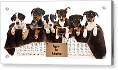 Basket Of Mixed Breed Puppies Acrylic Print by Susan Schmitz