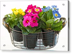 Basket Of Primroses Acrylic Print