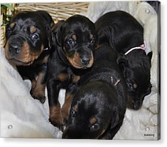 Basket Of Puppies Acrylic Print by Sue Rosen