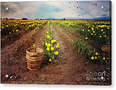 Acrylic Print featuring the photograph basket with Daffodils by Sylvia Cook