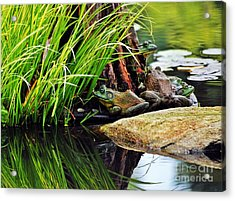Basking Bullfrogs Acrylic Print