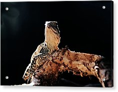 Basking Dragon Acrylic Print