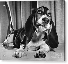 Basset Hound Puppy Acrylic Print by ME Browning