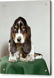 Basset Hound Puppy With Soulful Sad Acrylic Print