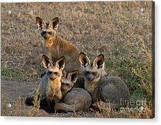 Bat-eared Foxes Acrylic Print by Chris Scroggins