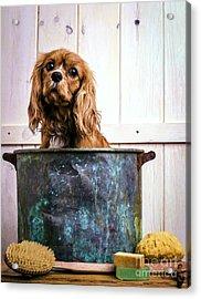 Bath Time - King Charles Spaniel Acrylic Print