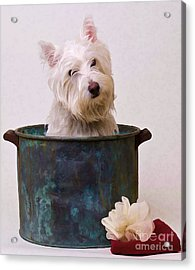 Bath Time Westie Acrylic Print by Edward Fielding