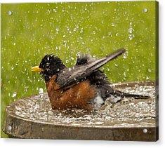 Bathing Robin Acrylic Print by Inge Riis McDonald