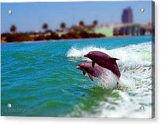 Bay Dolphins Acrylic Print