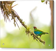 Bay-headed Tanager Acrylic Print