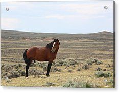 Bay Mustang Stallion In Wyoming Acrylic Print
