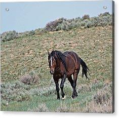 Bay Mustang Stallion Acrylic Print