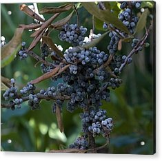 Bayberry Acrylic Print by Michael Friedman