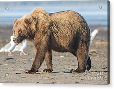 Beach Bear Acrylic Print