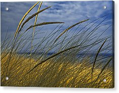 Beach Grass On A Sand Dune At Glen Arbor Michigan Acrylic Print
