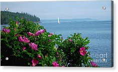 Beach Roses Acrylic Print by Christopher Mace