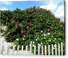 Beach Roses On The Dunes Acrylic Print by Kate Gallagher