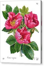 Beach Roses -  Rosa Rugosa Acrylic Print