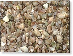 Acrylic Print featuring the photograph Beached Shells by Suzanne Powers