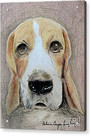 Acrylic Print featuring the drawing Beagle Best In Show by Patricia Januszkiewicz