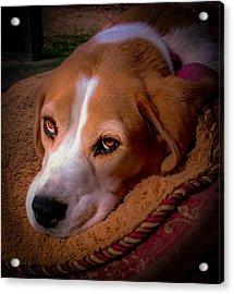 Beagle Blues Acrylic Print by Karen Wiles
