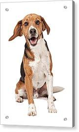 Beagle Mix Dog Isolated On White Acrylic Print