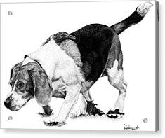 Beagle On The Hunt Acrylic Print by Rob Christensen