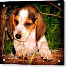 Beagle Puppy 1 Acrylic Print by Lynn Griffin