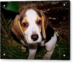 Beagle Puppy 2 Acrylic Print by Lynn Griffin