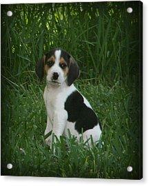 Beagle Puppy 4 Acrylic Print by Lynn Griffin