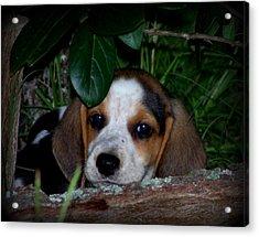 Beagle Puppy Acrylic Print by Lynn Griffin