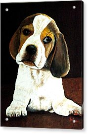 Beagle Puppy Acrylic Print by Zelma Hensel