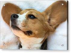 Beagles Dreams Acrylic Print by Eti Reid